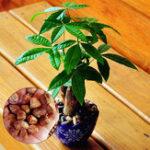 Оригинал Egrow 2 шт. / Сумка Pachira Семена Macrocarpa Флорес True Bonsai Tree Plantas для дома Сад и офис
