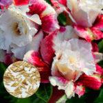 Оригинал Egrow 5 шт. / Упак. Роза Семена Real Adenium Obesum Flores Desert Rose Flower Plantas Home Сад Сочные растения бонсай