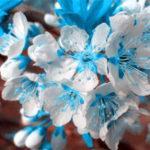 Оригинал Egrow 10 шт. / Сумка Голубая вишня Семена Голубая Sky Белая вишня Сад Мини-бонсай Сакура Флорес Красивые декоративные растения