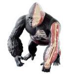 Оригинал 4D MASTER Science 4D Vision Gorilla в сборе Медицинская Модель 29 частей Головоломки