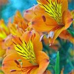 Оригинал Egrow 100PCS / Pack Lily Семена Редкий Перуанская лилия Альстромерия Бонсай Растения разноцветные Красивые лилии цветок