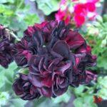 Оригинал Egrow 20 Шт. / Упак. Герань Семена Цветок Пеларгонии