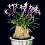Оригинал Egrow 100 Шт. / Упак. Neofinetia Falcata Orchid Семена Бонсай Цветочные Растения для Дома Сад