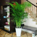 Оригинал Egrow 5 Шт. / Упак. Комнатная Пальма Семена Chrysalidocarpus Lutescens Арека Растения Бонсай Домашний Декор Воздушные Растения