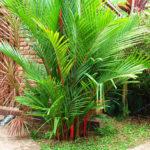 Оригинал              Egrow 100 шт. / Упак. Palm Семена Губная помада Palm Cyrtostachys Renda Tree Красный уплотнительный воск Palm Bonsai Pot Растение Для дома Сад Бонсай