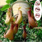 Оригинал              Egrow 20шт / уп Редкий Непентес Семена Балкон Сад Растения в горшках Семена Плотоядные растения Семена