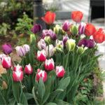 Оригинал              Engrow 1 шт. Tulip Seed Ball Тюльпан Большой Шар Многоцветный Гидропонное Выращивание Цветочная Корма